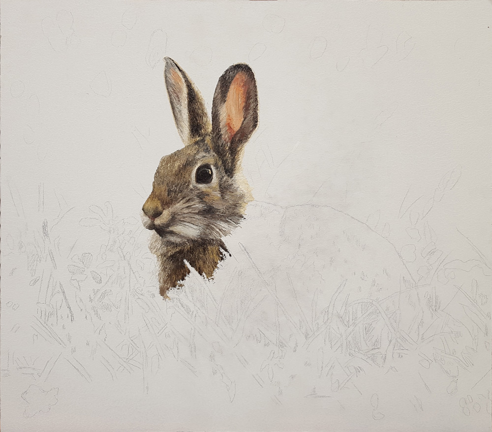 Cottontail-2
