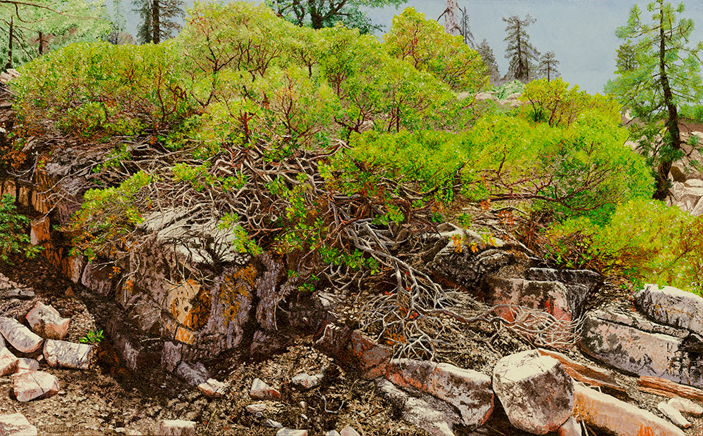 Manzanita on a Rock Ledge (sold)  |  Richard G. Tiberius