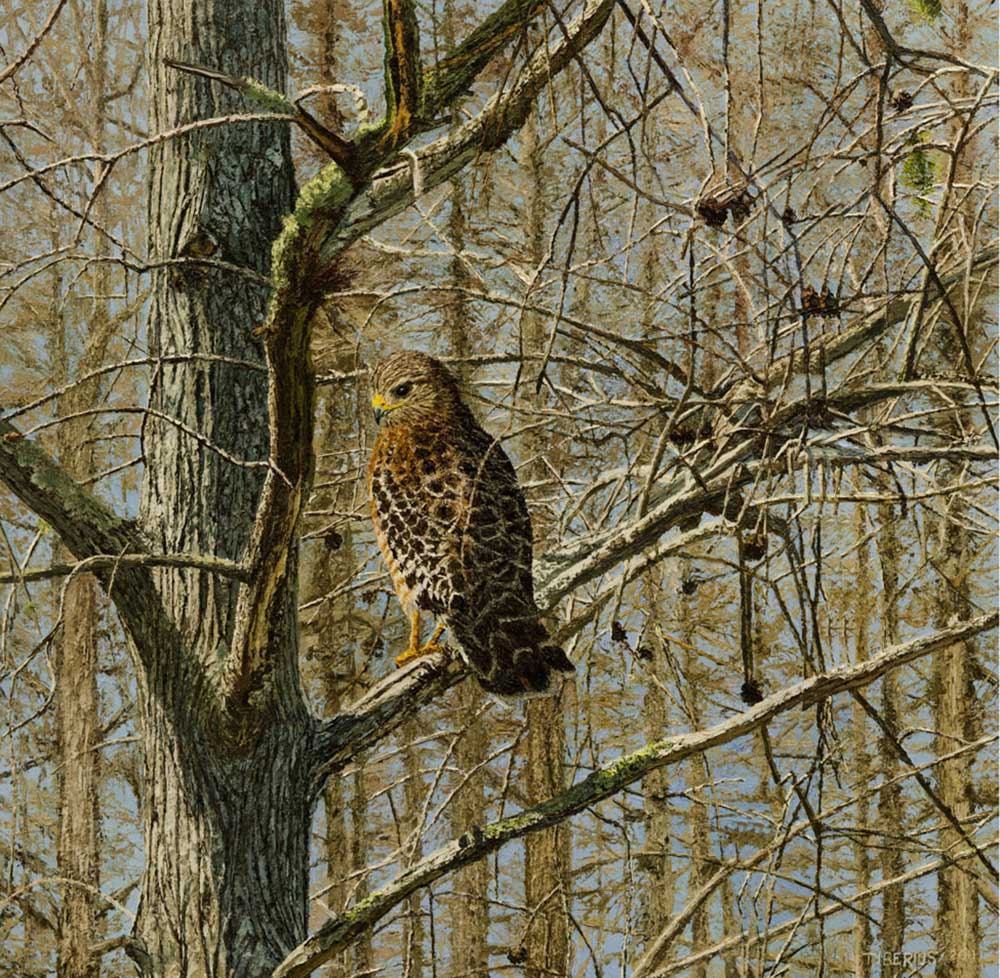 Dwarf Cypress and Red Shouldered Hawk – Progression