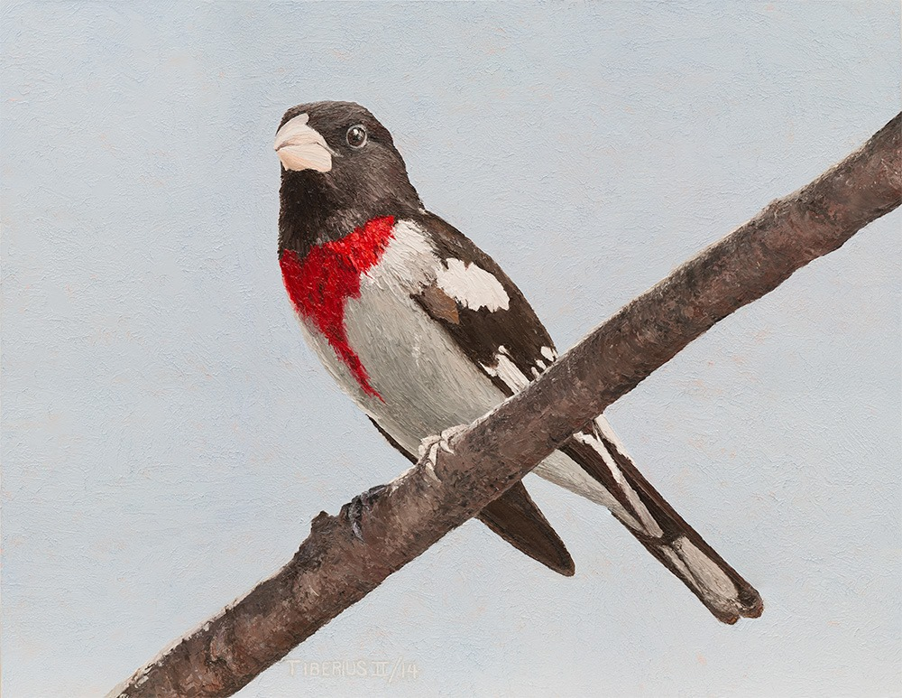 Rose-breasted Grosbeak (sold) | Kiry Tiberius