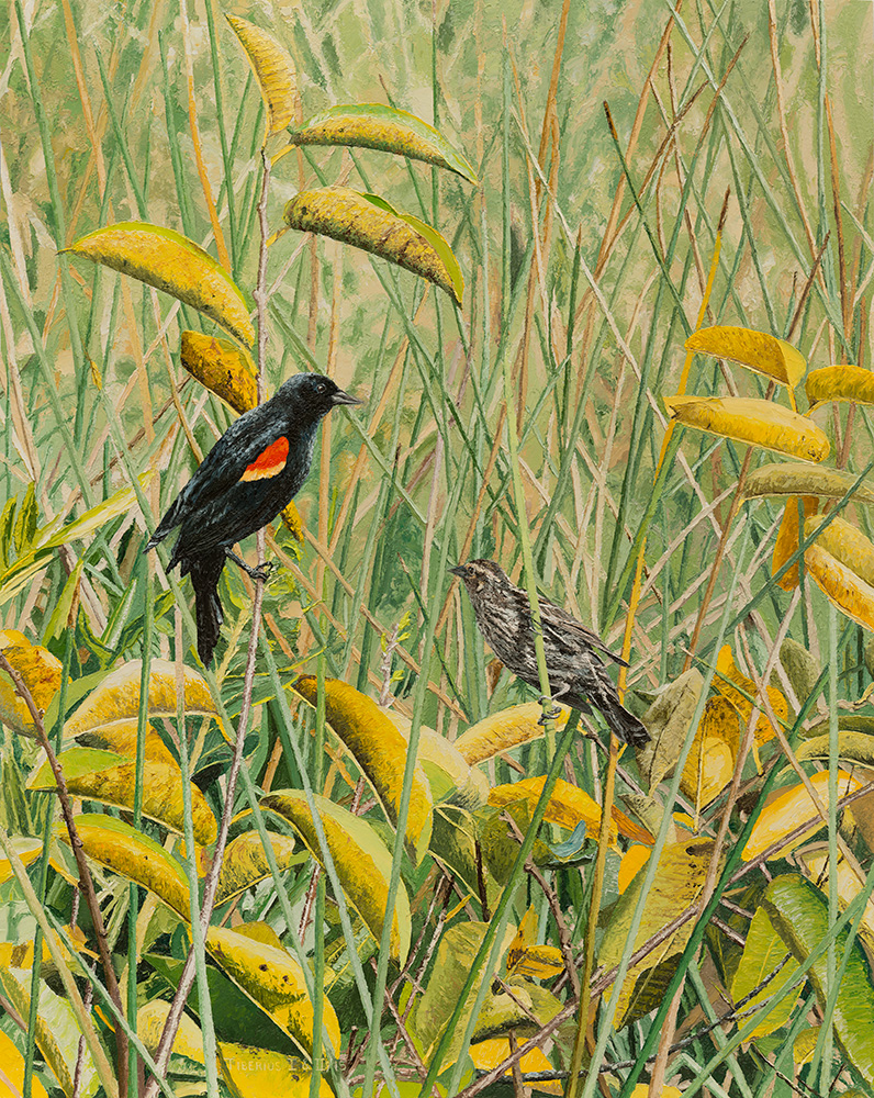 Red-winged Blackbirds on Pond Apple |Kiry Tiberius and Richard G. Tiberius