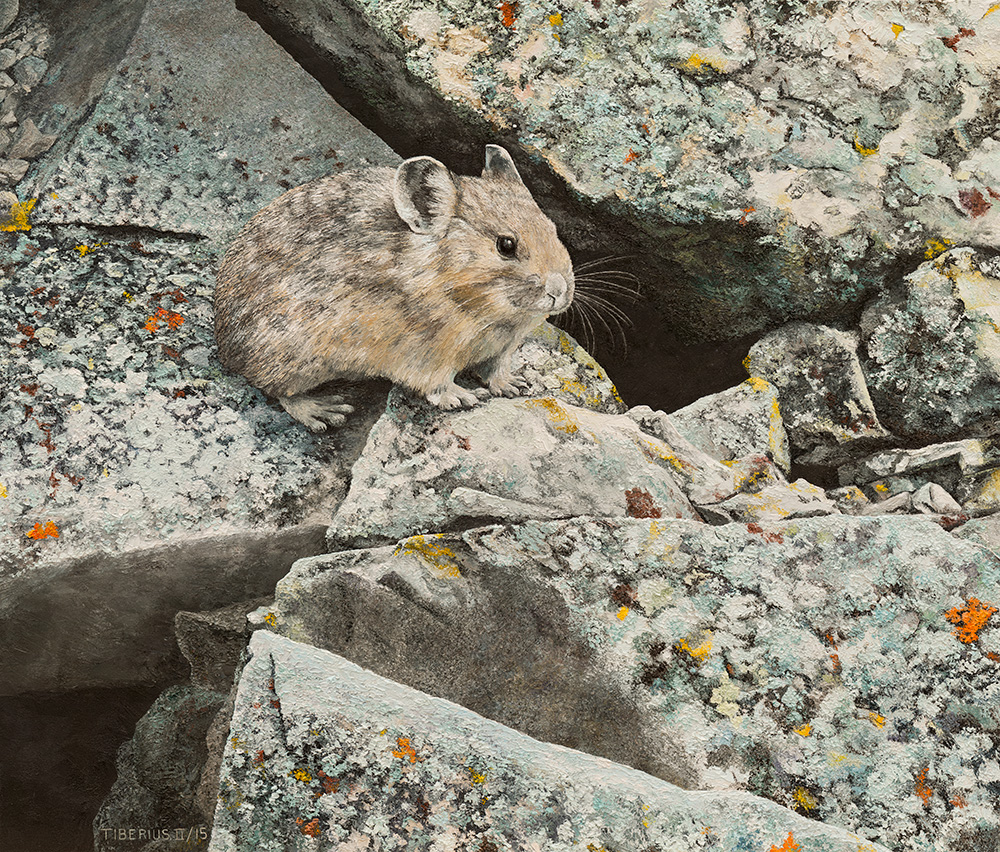 Pika on Lichen-covered Rocks (sold) | Kiry Tiberius