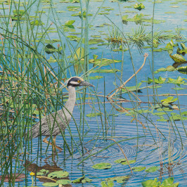 Yellow-crowned Night Heron | Kiry Tiberius & Richard Tiberius