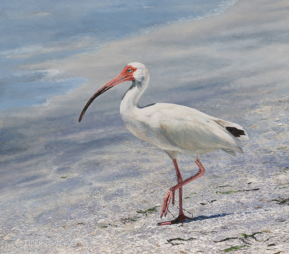 White Ibis – Progression