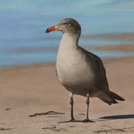 Heermann's Gull (sold) | Kiry Tiberius