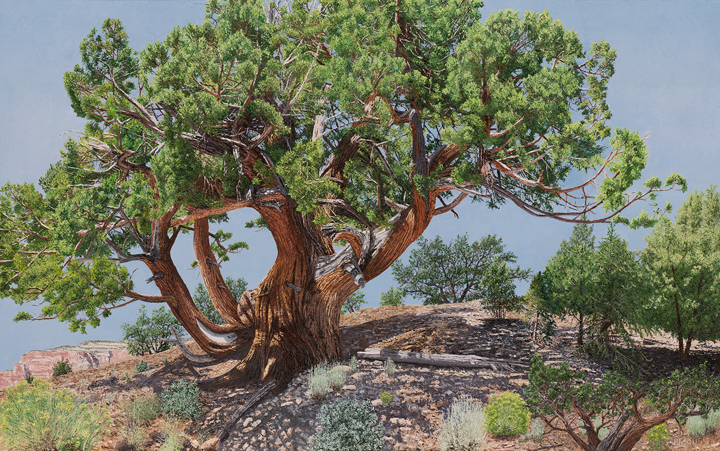 Rocky Mountain Juniper | Richard G. Tiberius