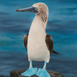 Blue-footed Booby | Kiry Tiberius