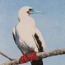 Red-footed Booby |Kiry Tiberius