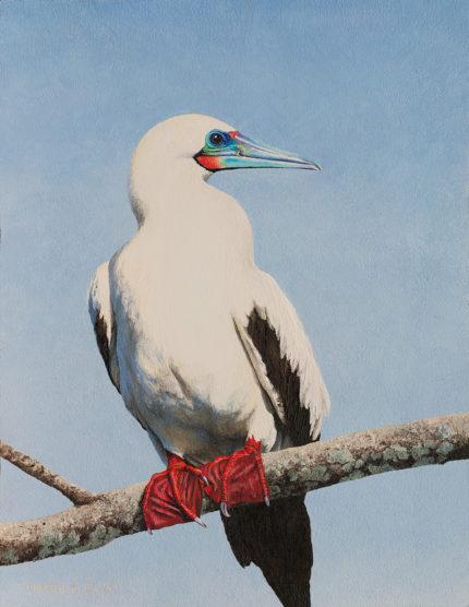 Red-footed Booby | Kiry Tiberius